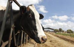 Vache à la clôture de ferme dans une ferme de lait en île de Majorque Photographie stock libre de droits