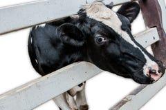 Vache à la ferme photos stock