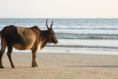 Vache à la plage Images libres de droits