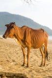 Vache à la plage d'Agonda dans Goa, Inde Images libres de droits