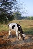 Vache à lait Image libre de droits