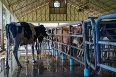 Vache à lait dans la ferme Photo stock
