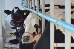 Vache à lait dans la ferme Photographie stock