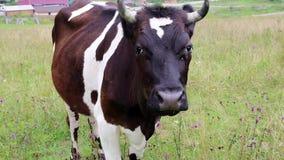 Vache à lait sur le pré banque de vidéos