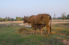 Vache à mère Photo libre de droits