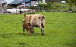 Vache à mère et à chéri Photos stock