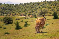 Vache à mère et à chéri photographie stock