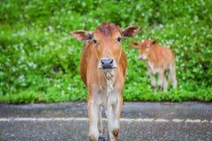 Vache à mère et son veau Photo stock