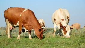 Vache à Motley grignotant l'herbe dans le pré banque de vidéos