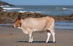 Vache à Nguni au soleil à la deuxième plage, St Johns gauche sur la côte sauvage au Transkei, Afrique du Sud S photos libres de droits