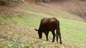 Vache à noir foncé mangeant l'herbe sur le pré près de la forêt clips vidéos