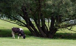 Vache à pays par l'arbre Images stock