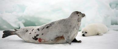 Vache à phoque de harpé et chiot nouveau-né sur la glace Images libres de droits