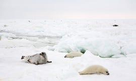 Vache à phoque de harpé et chiot nouveau-né sur la glace Image stock