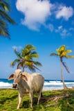 Vache à plage Images libres de droits