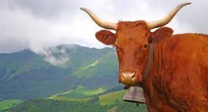 Vache à Salers de Français Photo stock