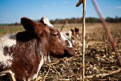 Vache à sommeil Photographie stock