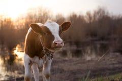 Vache à veau se tenant sur le champ au coucher du soleil Photographie stock