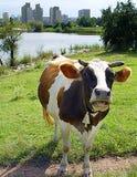 Vache à ville Images libres de droits