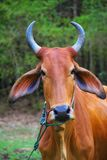 Vache à zébu Photos stock