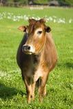 Vache à zébu Images stock