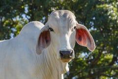 Vache à zébu se tenant sur la prairie Photos libres de droits
