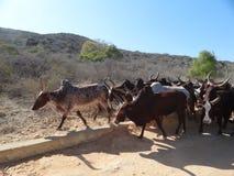 Vache à zébu sur la plage au Madagascar Images stock