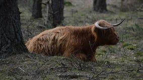 Vache écossaise à montagnard dans le wezepse Veluwe forrest image stock