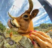 Vache épique image stock