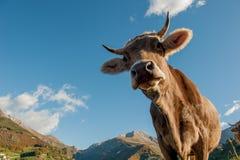 Vache Images stock