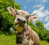 Vache Photo stock