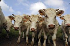 Vache Photo libre de droits