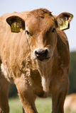 Vache Images stock