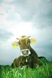 Vache Photos stock