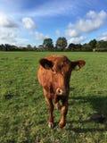 Vache Photographie stock libre de droits