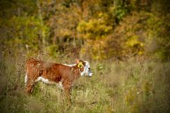 Vache Photographie stock