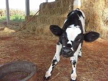 Vache Photographie stock
