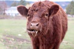 Vache affamée Photographie stock libre de droits