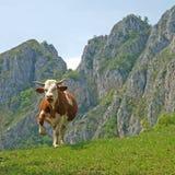 Vache agressive Photographie stock libre de droits