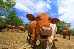 Vache ahurie frôlant dans le pâturage Images stock