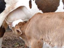 Vache alimentant 3 Image stock