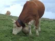 Vache alpestre Images libres de droits