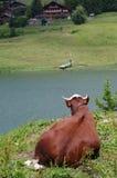 Vache alpestre Photos libres de droits