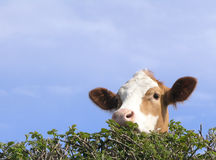 Vache anglaise regardant au-dessus de la haie Photo stock