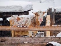 Vache, arrosée avec la neige, dans un stylo dehors Images libres de droits