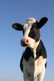 Vache attentive Photos libres de droits