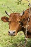 Vache au-dessus de peu d'arbre Images stock