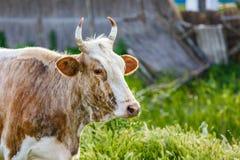 Vache au pré Photo stock
