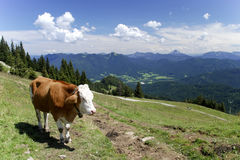 Vache aux Alpes Photographie stock libre de droits