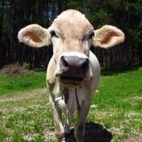 Vache avec de grandes oreilles collant  Photos libres de droits